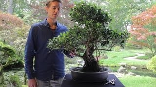 Bonsai Ficus Youtube