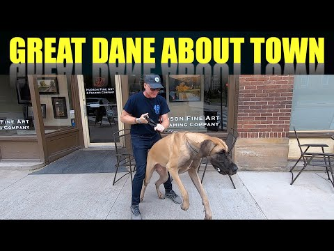 Great Danes about Town