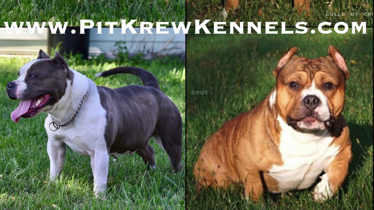 Pocket American Bully Breeding (Cruz's Mac X PitKrew's Piglet)