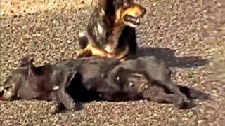 Верность погибшей собаке от оставшейся в живых. Игнатий Лапкин.