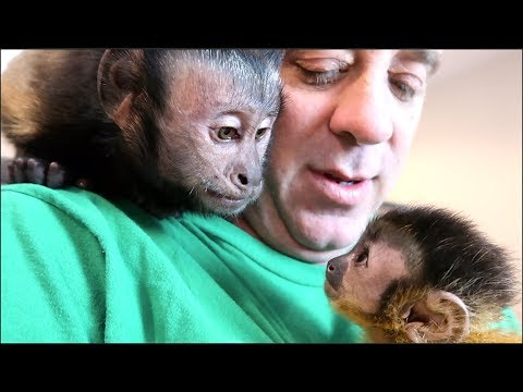 Baby Monkey Meets Capuchin Monkey & Pet Human!