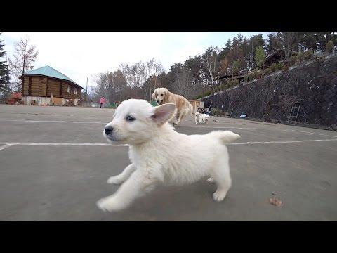 八ヶ岳 犬の牧場 ゴールデンレトリバー ジュニアとフェリシアの子犬たち 2016年 秋