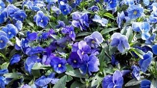 видео Цветы на балконе и террасе весной - Цветы на балконе и террасе <!--if(Домашние цветы)-->- Домашние цветы<!--endif--> - Каталог статей - Мой любимый английский сад