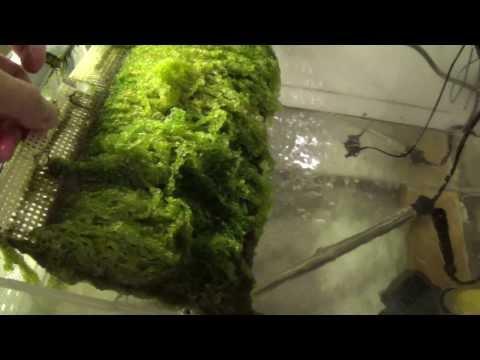Algae Scrubber With LED Lights On Salt Water Reef Tank
