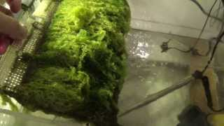 Algae Scrubber with LED Lights on Salt Water Reef Tank