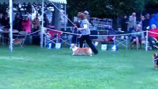 Pembroke Welsh Corgi Winners Dog Class
