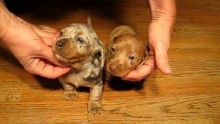 AVAILABLE Dapple Dachshunds Puppies for sale in california