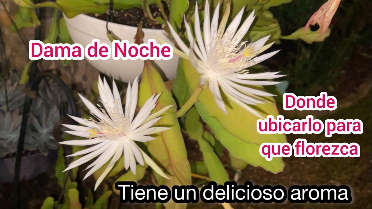 Epiphyllum oxypelatum compartiendo  sus flores  por la noche  y todos sus cuidados
