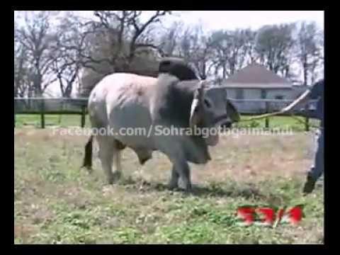 World Heaviest Brahman Bull Youtube