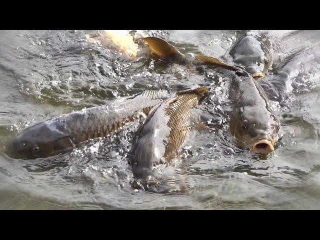 牛久大仏浄土庭園の池にいた貪欲なる鯉たち