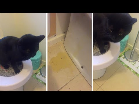 Cat Fails At Peeing In The Toilet