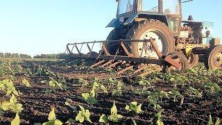 Боронование посевов подсолнуха по всходам.  Всё будет хорошо! #СельхозТехника ТВ