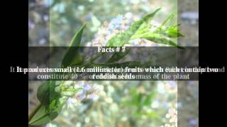 Lepidium latifolium Top # 11 Facts