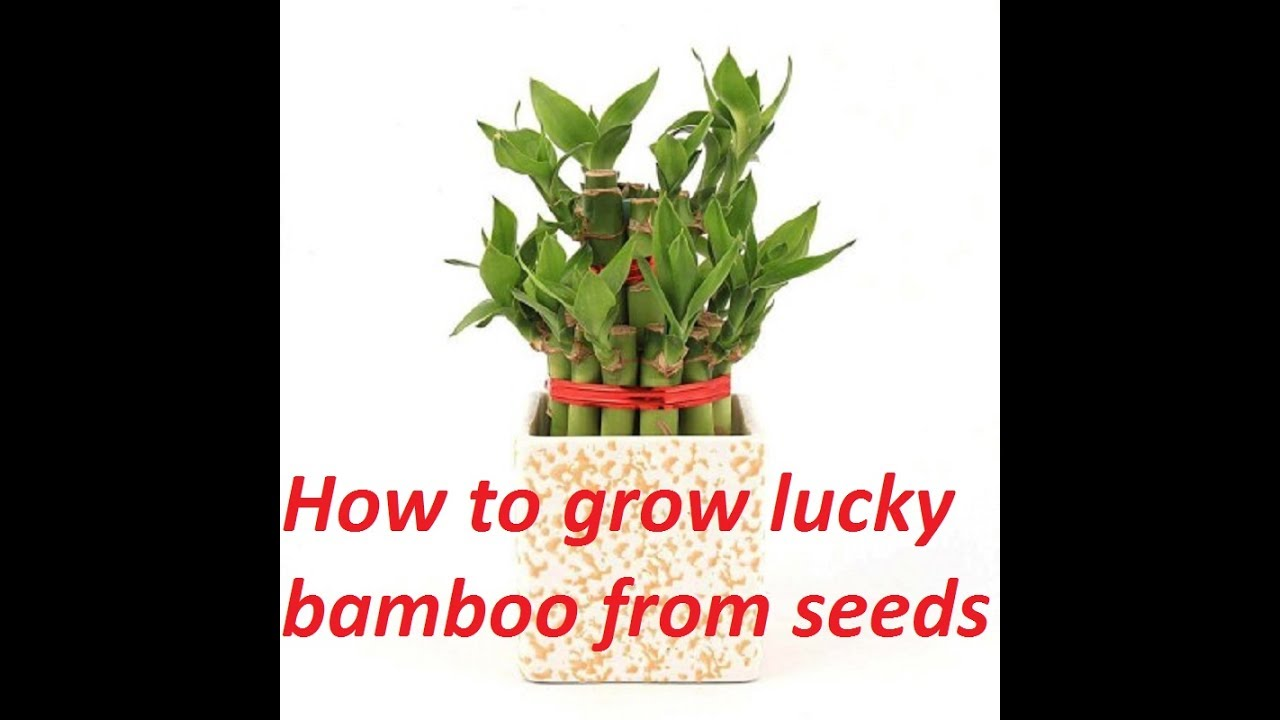 How To Grow Lucky Bamboo From Seed Take Care Plant