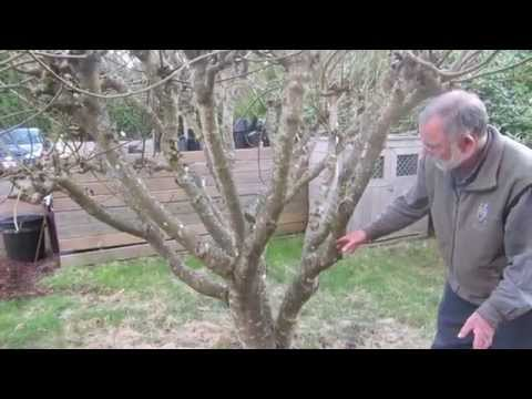 How to prune figs in a cool climate for first (breba) crop fig production