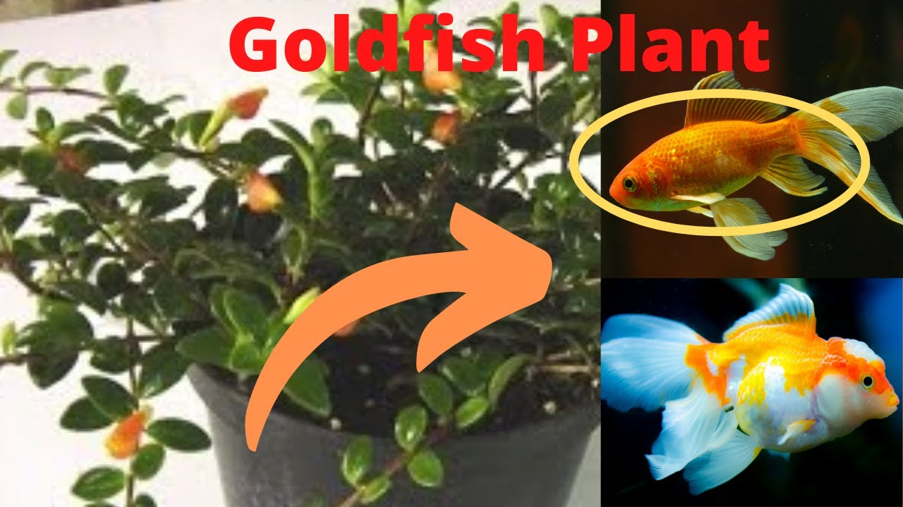 How to Care for a Goldfish Plant How to Care for a Goldfish Plant new images