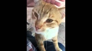 Подкожный и кусачий рыжий кот возле нашего офиса