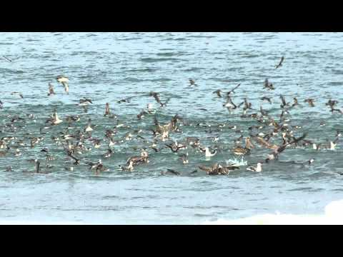 Feeding Frenzy - Imperial Beach, CA - 7-12-14