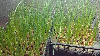 Выращивание зелени лука в домашних условиях