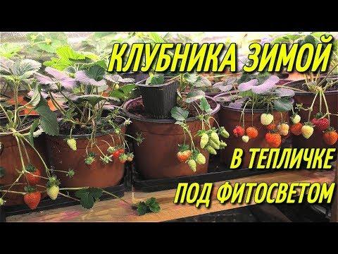 КЛУБНИКА ЗИМОЙ В ТЕПЛИЦЕ ПОД ФИТОСВЕТОМ/Супер результат!