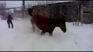 Жеребец сорвался и начал вытворять такое!!! (Stallion broke and started to get up so!)