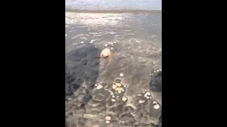 Horseshoe crab adventure #1