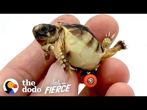 Guy Gets His Tiny, Deformed Tortoise Wheels To Help Him Walk | The Dodo Little But Fierce