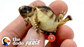 Guy Gets His Tiny, Deformed Tortoise Wheels To Help Him Walk | The Dodo Little But Fierce