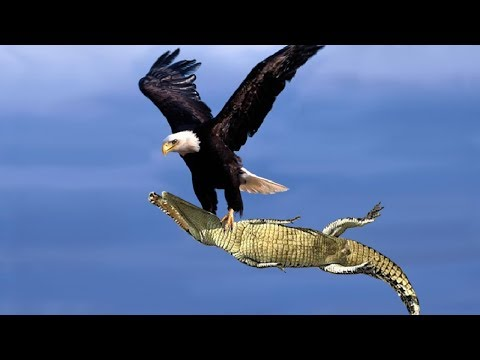 The Best Of Eagle Attacks 2018 - Most Amazing Moments Of Wil
