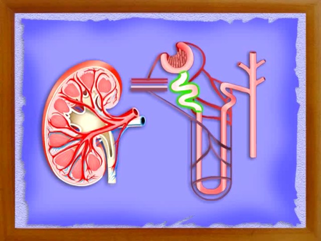 Human body, Health Hygiene, Safety and First - Aid:-Excretory System-04