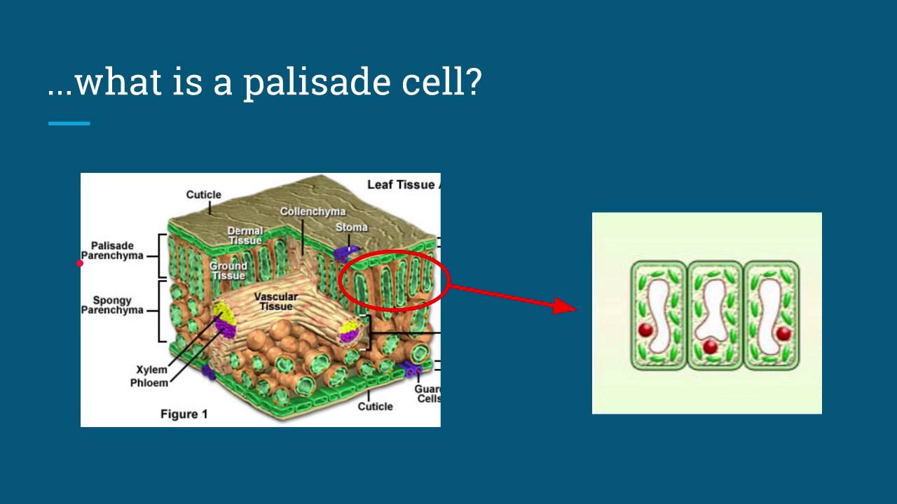 explain in detail why palisade cells Explain how the differences adapt which of the larger organelles are most abundant in palisade mesophyll cells in prepared slides of lilac leaves, why are.