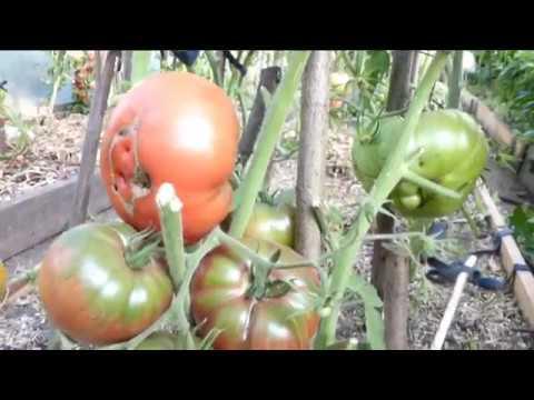 Обзор наших замечательных томатов на конец июля