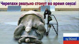 Черепахи неприлично и реально стонут во время секса