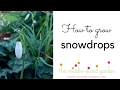 Where to grow snowdrops & snowdrop planting tips