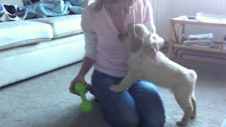 Autism Assistance Dog (in Training) Fauna