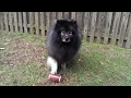 Cute Dogs Have Fun Playing Football - Clancy, Fluffy Dog Tricks Hike Ball