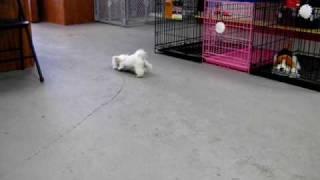 Maltese, Puppies, For, Sale, In, Los Angeles, California, Ca, Visalia, Thousand Oaks