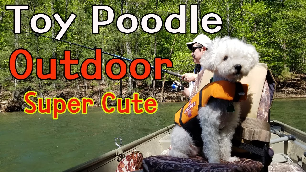 Toy Poodle Super Cute Loves Outdoor Sport Dog.