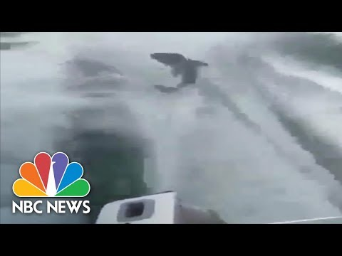 Police Charge Men With Animal Cruelty After Shark Dragging Video   NBC News