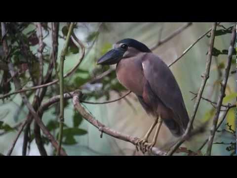 The Birds of Belize DVD - Version 8 - Video of 277 Species