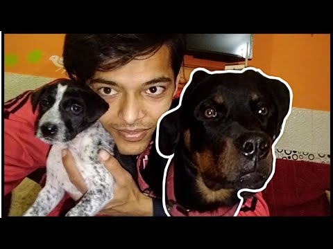 A Day With Roxy.  Rottweiler Daily Routine || Review reloaded ll #Rottweiler