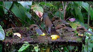 How Many Gray-headed Chachalacas Does It Take To Cover The Panama Fruit Feeder? – Nov 14, 2019