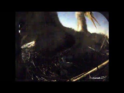 Great Horned Owl attacks Great Blue Heron in Sapsucker Woods
