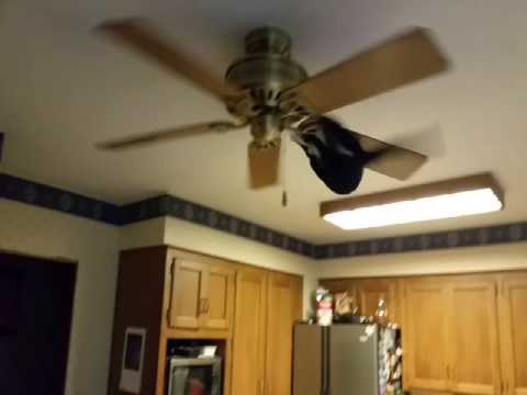 The Ceiling Fan Cat
