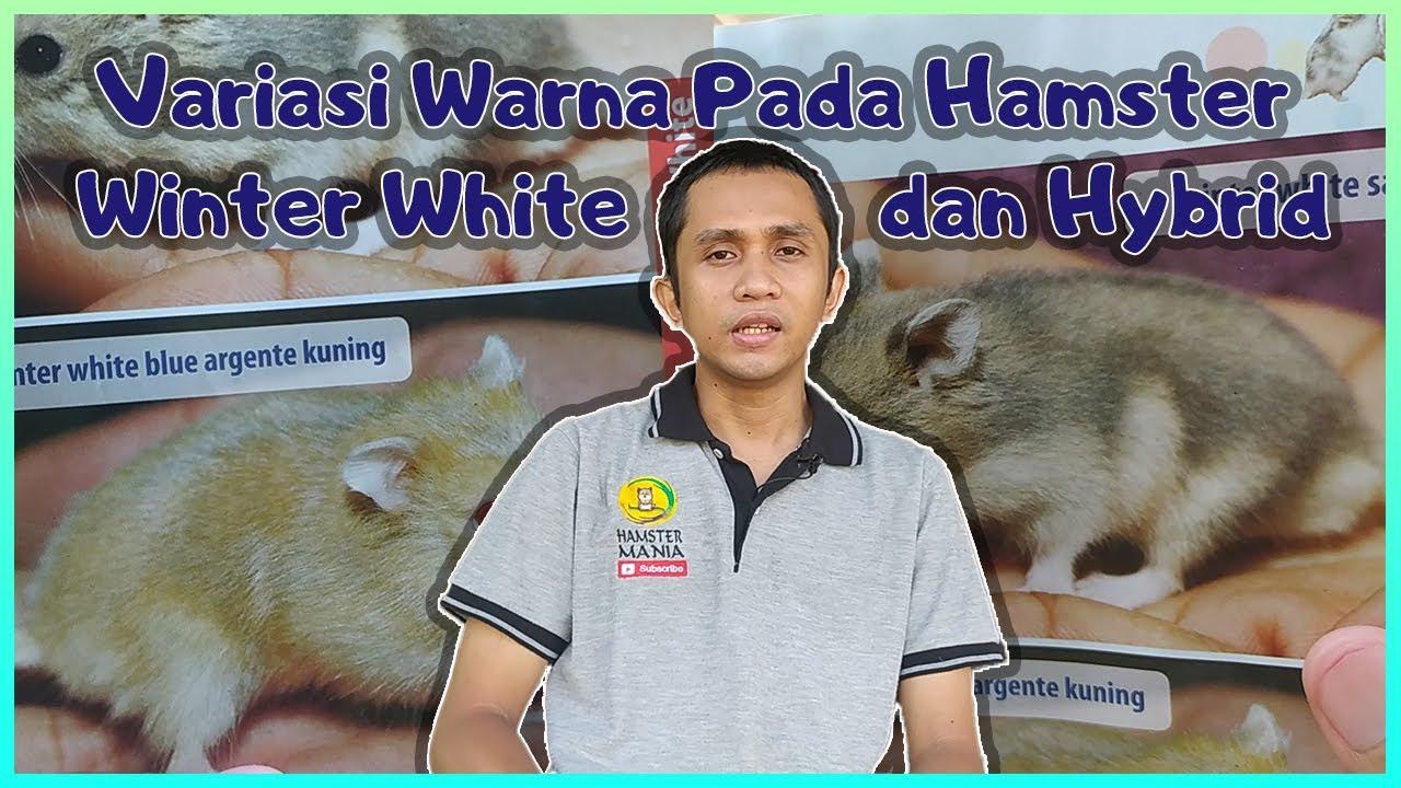 Berbagai Varian Warna Hamster Winter White (WW) dan Hybrid