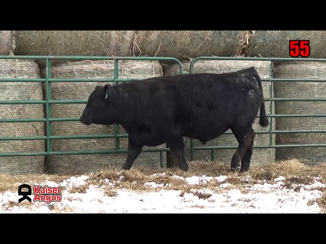 Kaiser Angus Ranch Lot 55