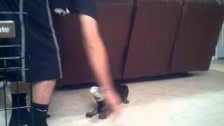 "9 Week Old Puppy Doberman ""tana"" Clicker Training."