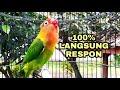Seketika Lovebirdmu Bakal Langsung Fighter Mendengar Suara Lovebird Ini  Mp3 - Mp4 Download