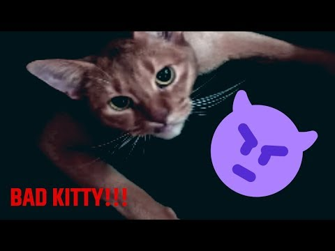 adorable abyssinian cat freaks out