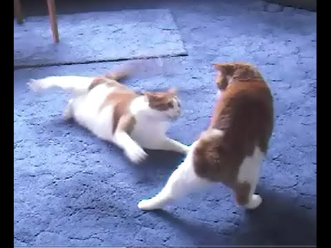 CATS FIGHTING Tribute Very Sad   (this will make you cry)